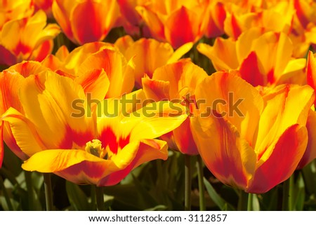 field of yellow with red tulips