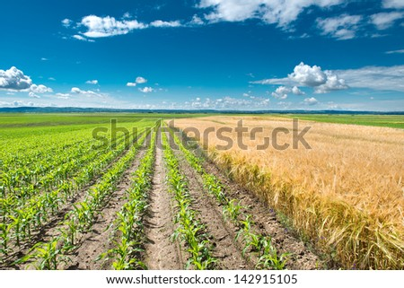 Field of young corn and wheat