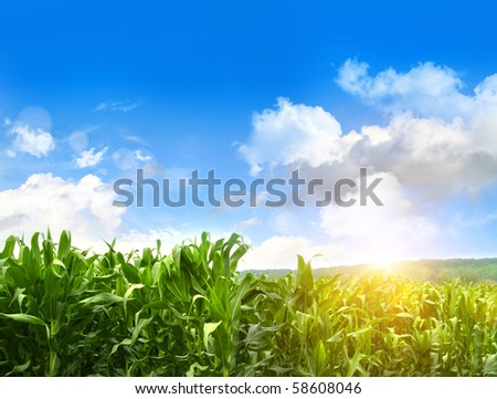 Field of young corn growing in the month of July - stock photo