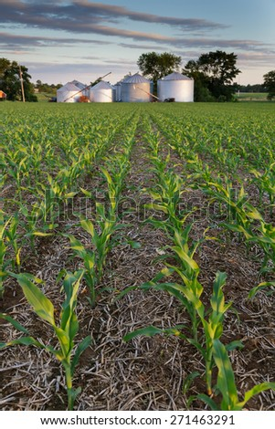 Field of young corn next to grain bins on a spring evening. - stock photo