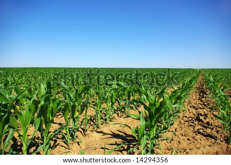 Field of young corn plants in the spring. - stock photo