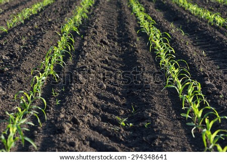 Field of young corn. Rows of plants in the ground - stock photo