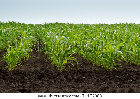 field of young green corn plants - stock photo