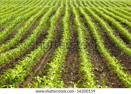 field of young organic corn plants