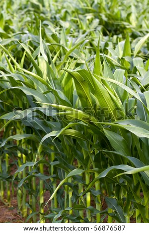 field of young organic corn plants - stock photo