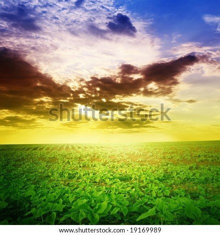 field of young sunflowers on a background sunset