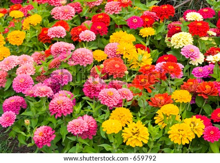 Field of Zinnia showing wide depth of color variety and abundance. - stock photo