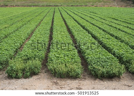 Field planted with basil. Agriculture land