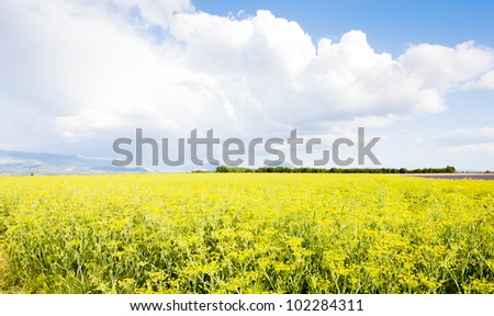 field, Plateau de Valensole, Provence, France - stock photo