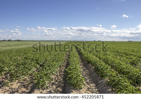 Field potatoes and oats in a rural landscape against the backdrop of blue sky and clouds