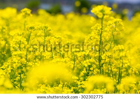 Field rape seed flower  plant in Jeju island - stock photo