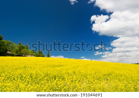 Field rapeseed against blue sky and white clouds - stock photo