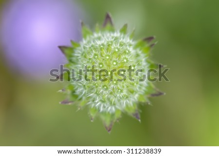 Field Scabious - stock photo