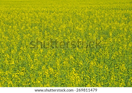 Field sown oilseed rape at the time of maximum flowering - stock photo