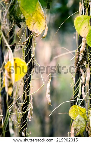 field soybeans in autumn, cultivated farmland vertical landscape  - stock photo