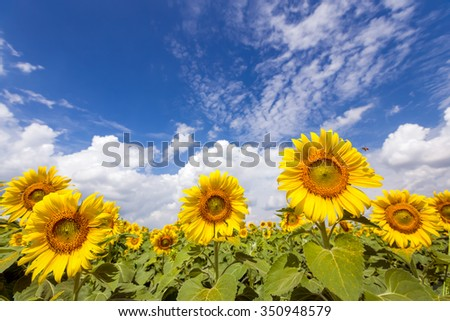 Field sunflowers on the blue sky.