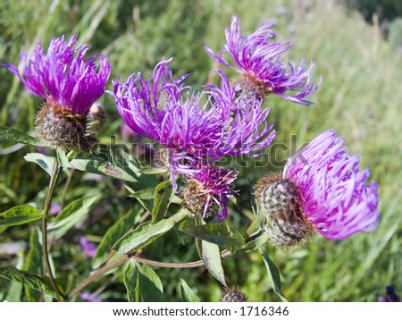 Field violet flowers close up - stock photo