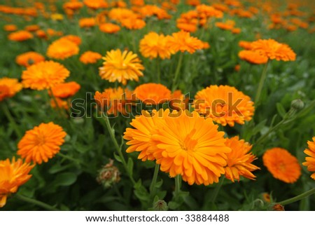 Field with a medicinal calendula - stock photo