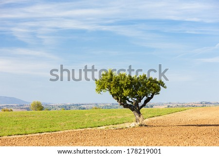 field with a tree, Plateau de Valensole, Provence, France - stock photo