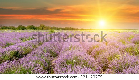 Field with blooming lavender and sunrise