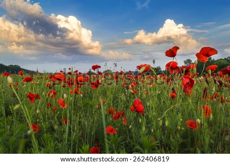 Field with blooming poppies at sunset - stock photo