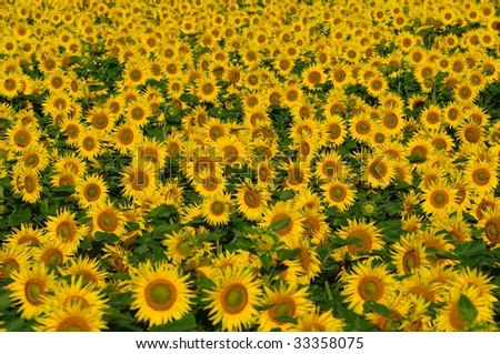 Field with bright yellow sunflowers. Bees sitting on some of the flowers. A few sunflower buds. - stock photo