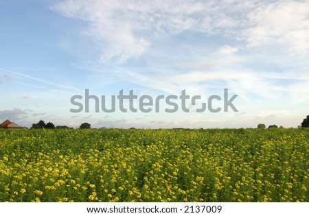 Field with cole-seed - stock photo