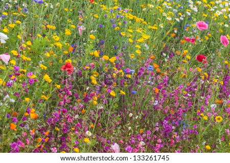 Field with colorful yellow, red and purple wildflowers in spring - stock photo