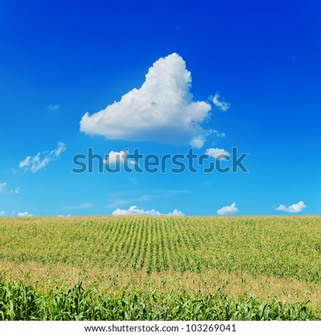 field with corn under blue sky and clouds - stock photo