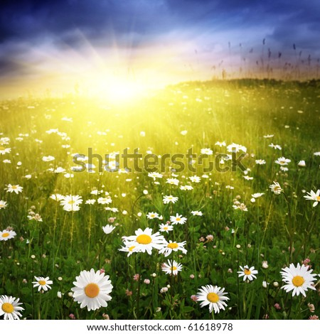 Field with daisies at sunset. - stock photo