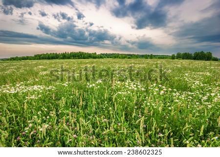 Field with daisies under gloomy sky - stock photo