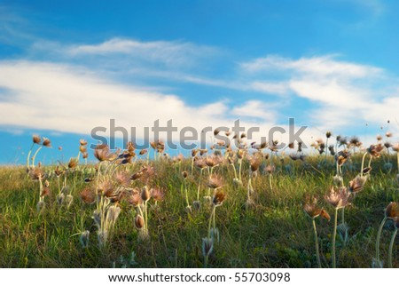 deflorated flowers (Pulsatilla patens, Pasqueflower) - stock photo