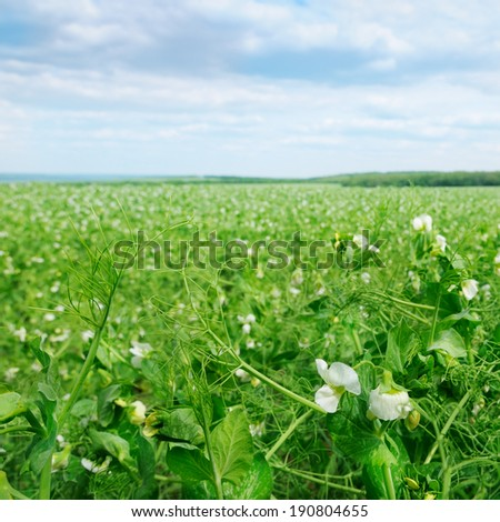 field with flowering peas and blue sky - stock photo