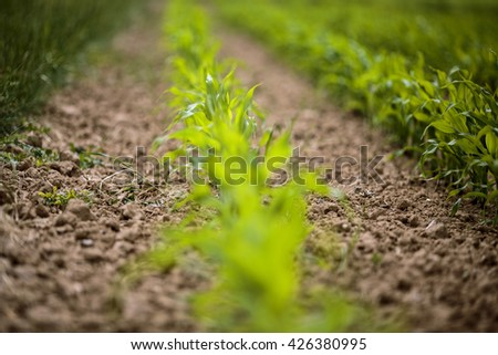 Field with Freshly sprouted Corn Plants in Spring - stock photo