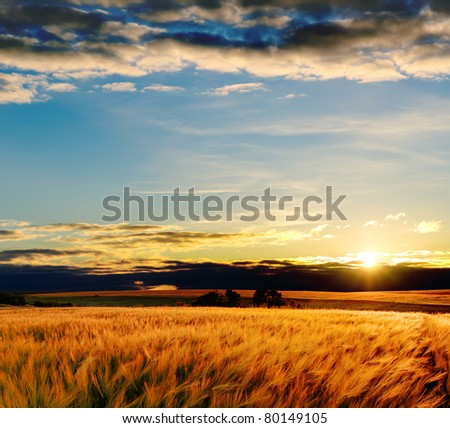 field with gold barley in sunset