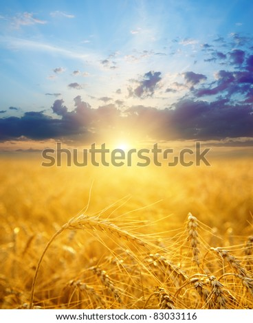 field with gold ears of wheat in sunset - stock photo