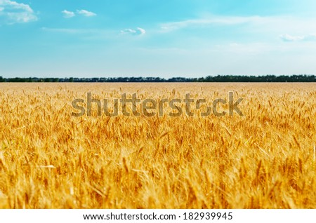 field with golden harvest and blue sky. soft focus on center of image