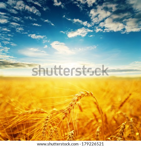 field with golden harvest and sunset. soft focus - stock photo