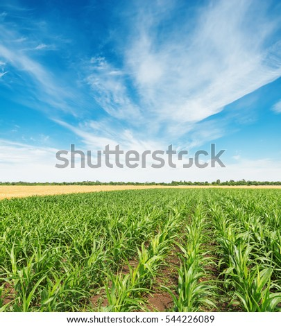 field with green maize and white clouds in blue sky