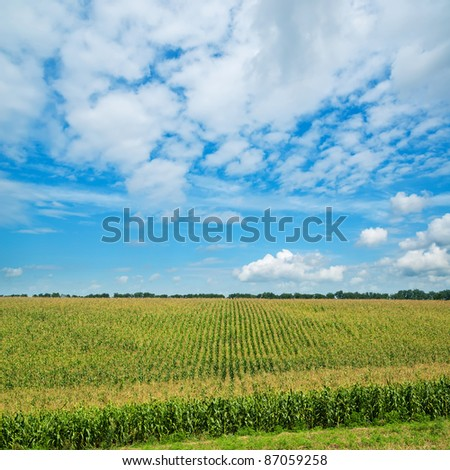 field with green maize under cloudy sky - stock photo