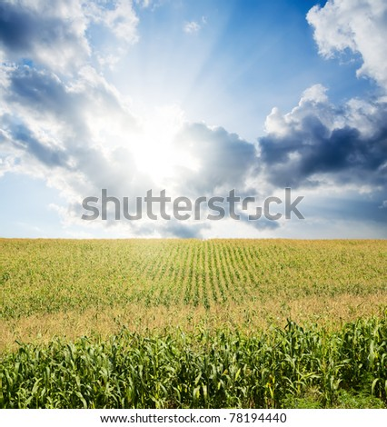 field with green maize under dramatic sky with sun - stock photo