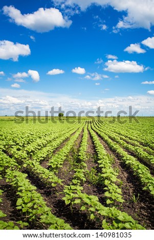 field with green sunflowers