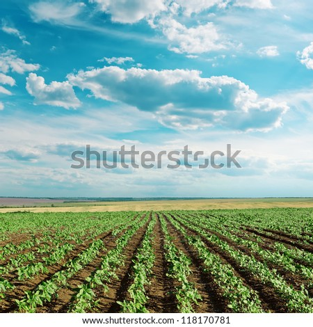 field with green sunflowers and blue cloudy sky - stock photo