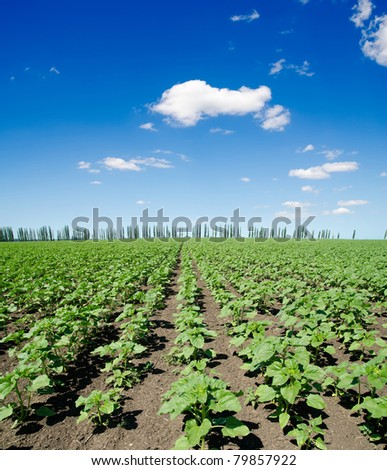 field with green sunflowers under deep blue sky - stock photo