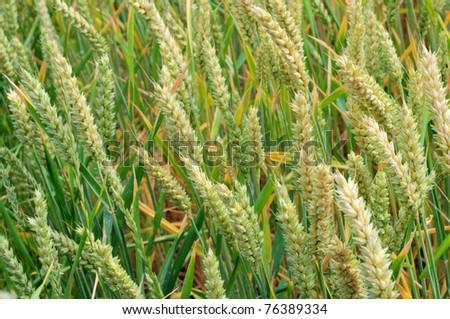 Post-Anthesis Fertilizer Application for Protein Enhancement