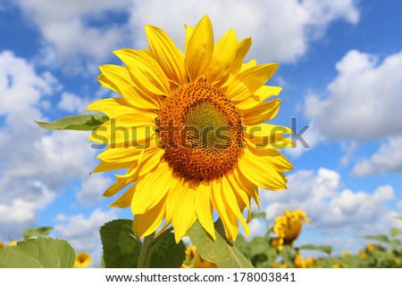 Field with growing sunflower in the sunny day