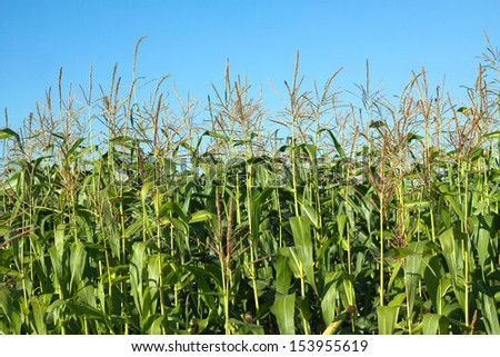 Field with grows corn under clear blue sky with clouds in summer close up