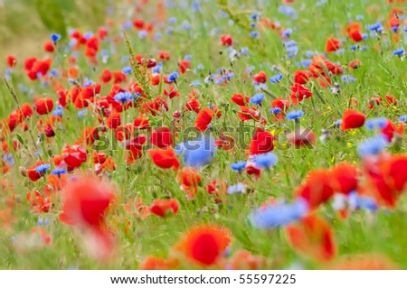 Field poppy corn flowers symphony colors stock photo download now field with poppy and corn flowers a symphony of colors mightylinksfo