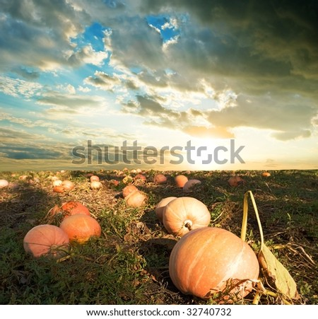 field with pumpkins