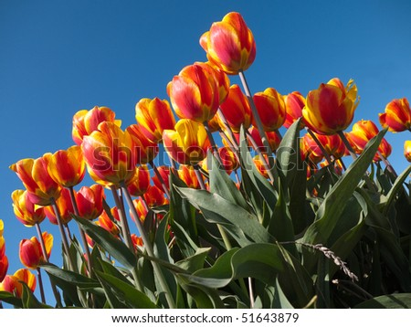 Field with red orange tulips - stock photo